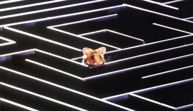 ratón en laberinto